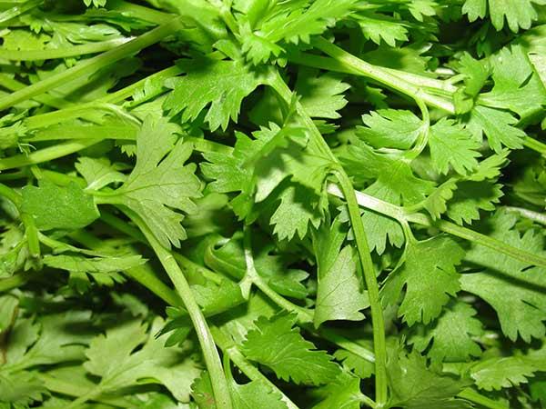 Koriander-siaty-listy Koriander siaty sa oplatí jesť! Liečivé účinky koriandra ho predurčujú na použitie v kuchyni