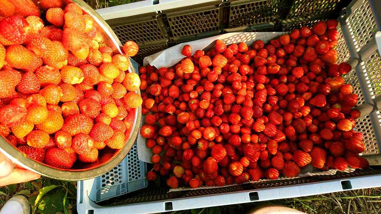 jahody samozber